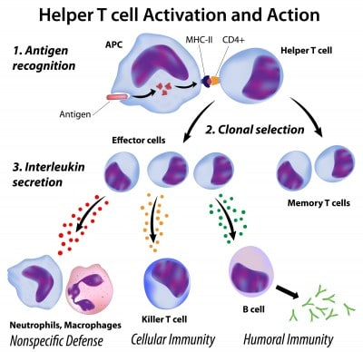 Helper T cell activation